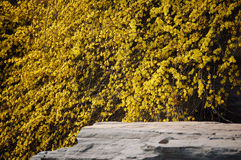 Winter jasmine. Flower is the first bloomed flower in spring Stock Photography