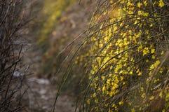 Winter Jasmine6 Lizenzfreie Stockfotografie