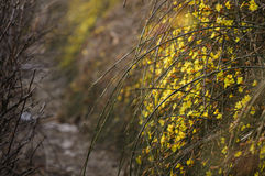 Winter Jasmine Royalty Free Stock Photography