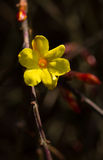 Winter jasmine Blossom Stock Photos