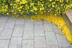 Winter Jasmine Blossoms Stock Photo