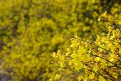 Winter Jasmine flower. The close-up of yellow Winter Jasmine flower. Scientific name: Jasminum nudiflorum Stock Photo