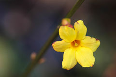 Winter jasmine. Flowering the first spring flowers bloom, spring to, and is a flourishing season Stock Photo