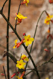 Winter jasmine. Flowering the first spring flowers bloom, spring to, and is a flourishing season Stock Photography