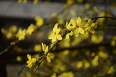 Winter jasmine. Flowers blossom in early spring Royalty Free Stock Photo