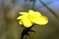Winter Jasmine. In Japan, six flower petal yellow flowers bloom in the hanging vine-like branches around February Royalty Free Stock Image