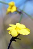 Winter Jasmine. In Japan, six flower petal yellow flowers bloom in the hanging vine-like branches around February Stock Photography