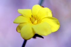 Winter Jasmine. In Japan, six flower petal yellow flowers bloom in the hanging vine-like branches around February Stock Photo