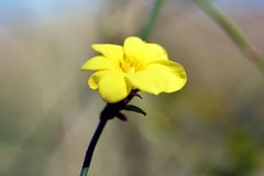 Winter Jasmine. In Japan, six flower petal yellow flowers bloom in the hanging vine-like branches around February stock image