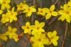 Winter jasmine Jasminum nudiflorum yellow flower stock photos
