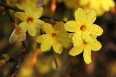Winter Jasmine Royalty Free Stock Images