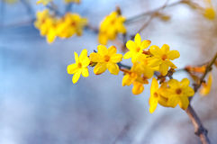 Winter jasmine Stock Images