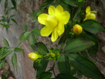 Winter jasmine with yellow flowers Royalty Free Stock Images