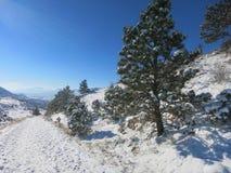 Winter-Kiefer im Schnee mit dem Sonnenstrahl-Glänzen -- Diese schneebedeckten Kiefer zeigen die Winterlandschaft Stockfotografie