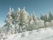 Winter-Kieferlandschaft in den Bergen Stockbild