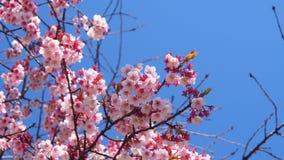 Winter Kirschblüte Lizenzfreies Stockbild