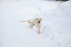 Winter Labrador retriever puppy dog Stock Images