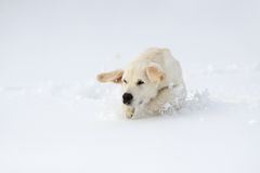 Winter Labrador retriever puppy dog Stock Photo