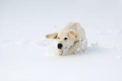 Winter Labrador retriever puppy dog. Running in snow Stock Photo