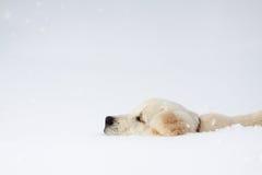 Winter Labrador retriever puppy dog. Running in snow Royalty Free Stock Photo