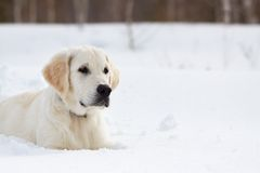 Winter Labrador retriever puppy dog. Running in snow Stock Image