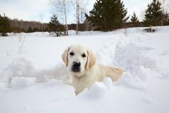 Winter Labrador retriever puppy dog. Running in snow Royalty Free Stock Images