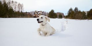 Winter Labrador retriever puppy dog. Running in snow Royalty Free Stock Photos