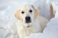 Winter Labrador retriever puppy dog Royalty Free Stock Image