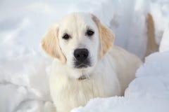 Winter Labrador retriever puppy dog. Running in snow Royalty Free Stock Image