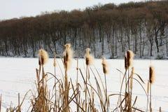 Winter lake with bulrush Royalty Free Stock Photos