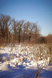 Winter lake with a cane Royalty Free Stock Photo