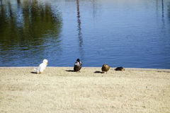 Winter Lake Guest Birds, Cortez Park, Phoenix, AZ. Four colorful ducks at Cortez lake in a small recreational park of North West Metro Phoenix on New Year Day stock photo