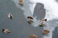 In the winter the lake are many ducks. Royalty Free Stock Photo