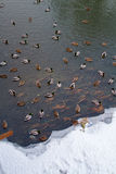 In the winter the lake are many ducks. Stock Images