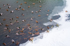 In the winter the lake are many ducks. Royalty Free Stock Image