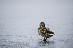 A female duck on a frozen lake royalty free stock image