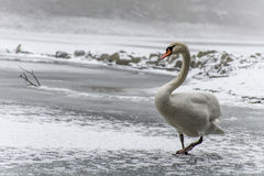 Winter Land Snow white swan Bird walk ice lake 13 Stock Photos