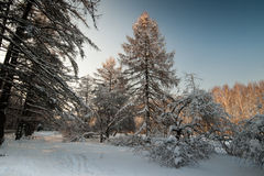 Winter landsape. With trees covered by snow Royalty Free Stock Photos