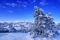 Winter landscape. Spruce trees covered by snow in beautiful winter landscape Royalty Free Stock Photo