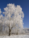 Winter landscape. Birch cowered with frost, clear sky in the background Stock Image