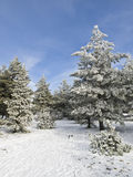 Winter Landscape. With some trees covered by the snow Royalty Free Stock Photos