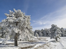 Winter Landscape. With some trees covered by the snow and a perfect blue sky Royalty Free Stock Image