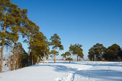 Winter landscape. Path in snow leading to pine trees on a background of dark blue sky Stock Images