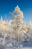 Winter landscape. Trees under snow after snow-storm Stock Photos