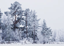 Winter landscape. Of trees with frost and snow Royalty Free Stock Photos