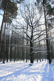 """Winter landscape. Forest after a snowstorm (Russia, Moscow, National Park """"Island of Elk Stock Images"""