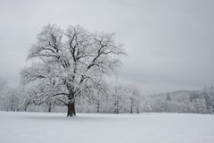 Winter landscape. On oak forest Stock Image