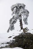 Tree covered in snow  Royalty Free Stock Photo