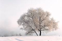 Winter landscape. Tree in hoarfrost on a background of a rising fog Royalty Free Stock Images