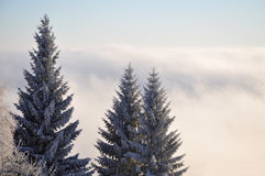Winter Landscape. Pine trees in the winter landscape above the clouds Royalty Free Stock Photo